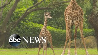 Disney announces name of baby giraffe born at Animal Kingdom l GMA
