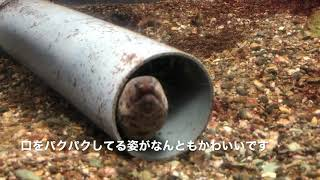 かわいいアミウツボ(愛媛県立長浜高校水族館にて)