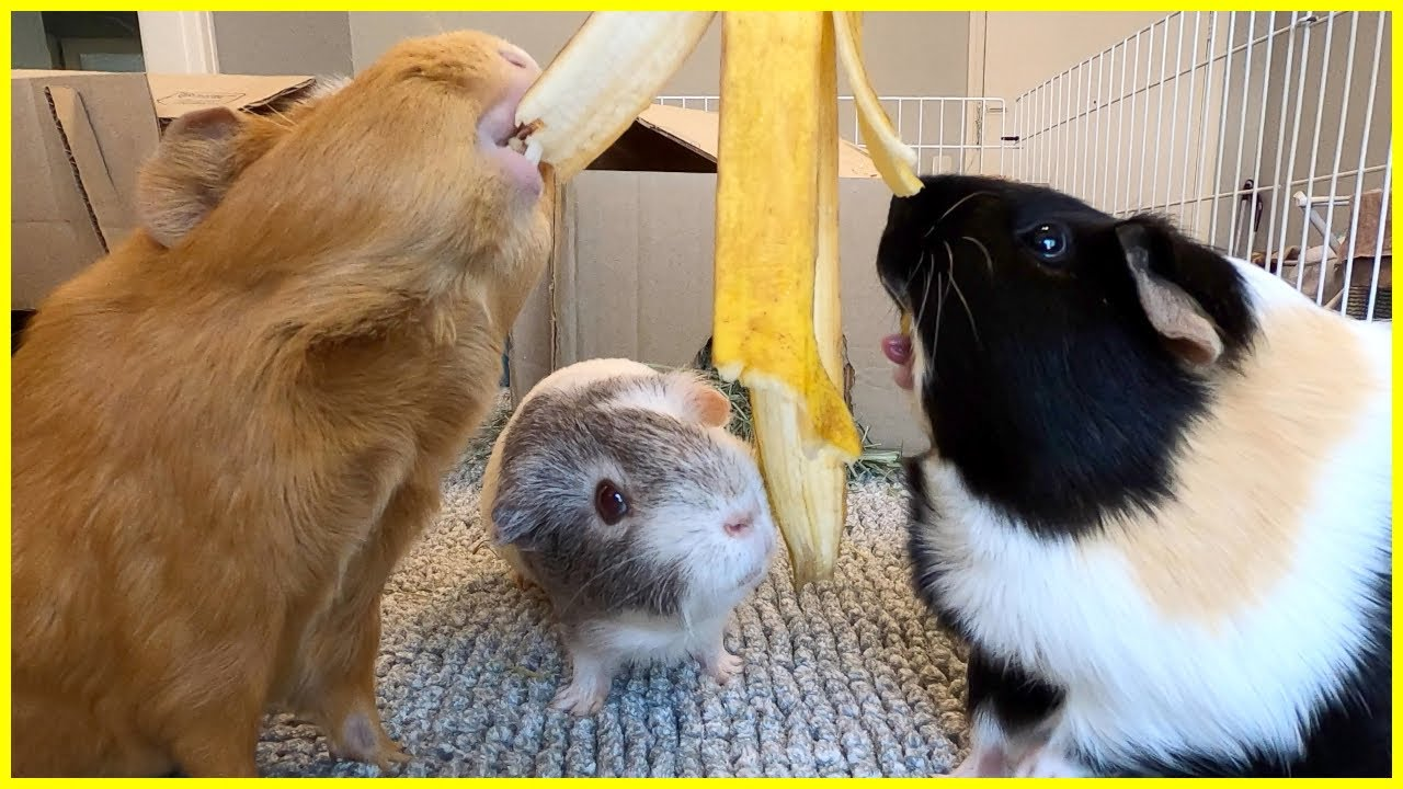 Guinea pigs attack a banana peel