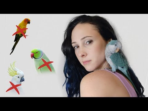 WHY I CHOSE A QUAKER PARROT AND LATER REGRET IT