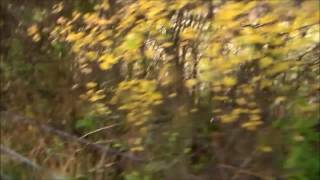 Video made up of two clips! The first shows a fox fleeing close to ...