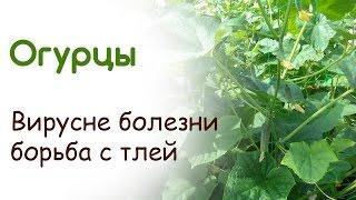 Огурцы начали плодоносить 26 июня. Вирусные болезни и борьба с тлей на огурцах(, 2015-06-28T19:44:26.000Z)