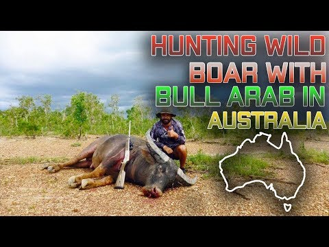 Hunting Wild Boar with Bull Arab dog in Australia - Hogs Dogs Quads