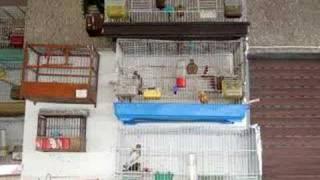 zogjte e cimit 2 goldfinch