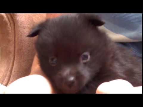 Violet Schipperke puppy 4 weeks old