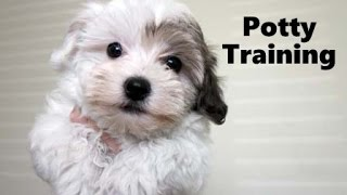 How To Potty Train A Havanese Puppy - Havanese House Training Tips - Housebreaking Havanese Puppies