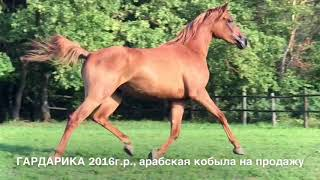 Продажа лошадей арабской породы конефермы Эквилайн, тел., WhatsApp +79883400208 (ГАРДАРИКА 2016г.р.)