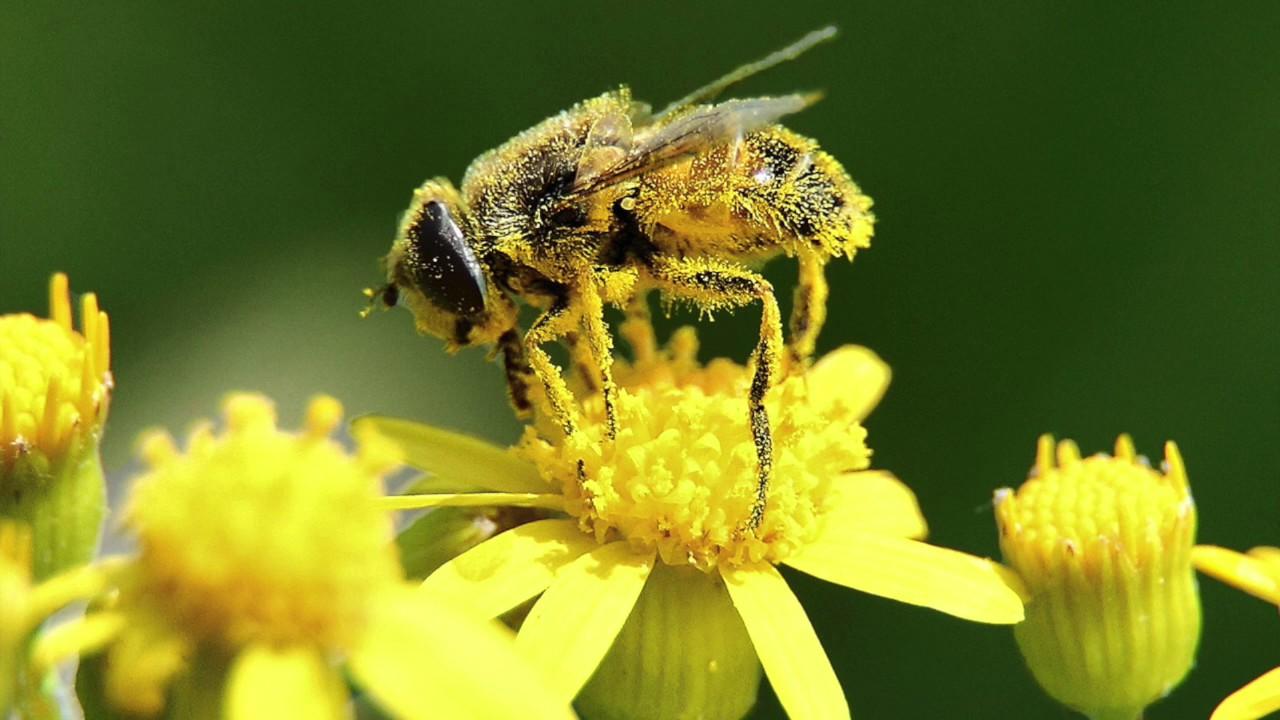 vad är pollen