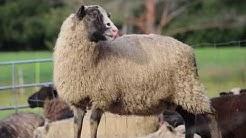 Niemelän lammastila