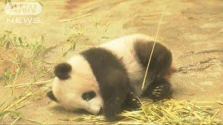 19日に迫った一般公開を前に、ジャイアントパンダの赤ちゃん「シャンシ...