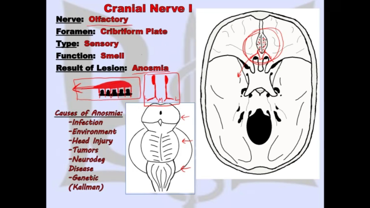 Cranial Nerve I (Update) - Anatomy Lecture for Medical Students ...