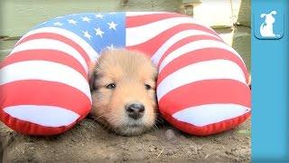 Collie Puppy Wears Travel Pillow; Prepares for Flight - Puppy Love
