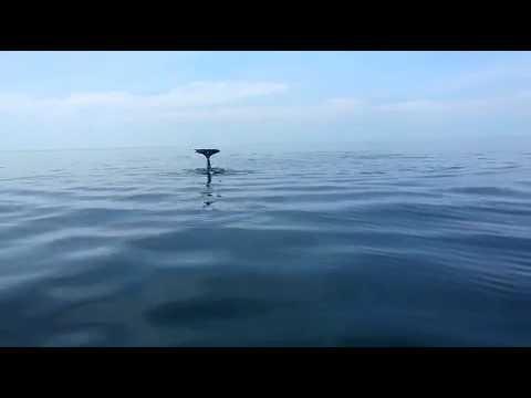 ORCA WHALE AT SIPADAN ISLAND, SABAH