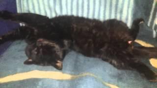 Кошачий секс во сне