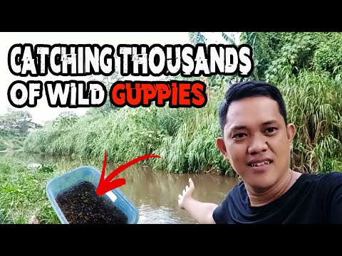 Wild Caught | CATCHING WILD GUPPY Using Tiny Fish Net In Our Local River