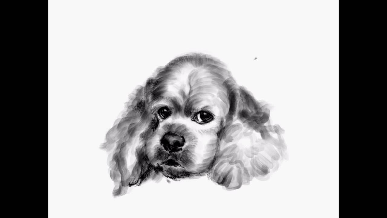 Drawing A Lovely American Cockerspaniel On Ipadpro