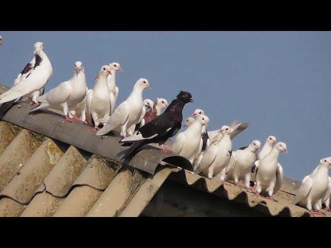 Продаются оптом Бакинские голуби не дорого!