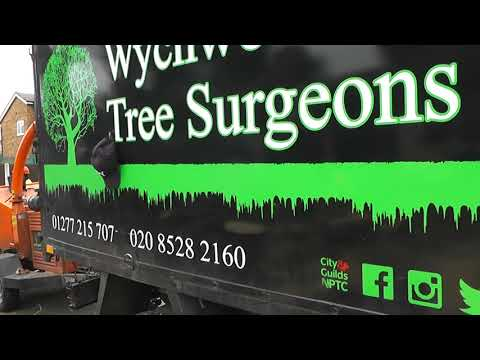 (1) WYCHWOOD TREE SURGEONS (LONDON + ESSEX) Climbing & Chopping Tall Leylandii In Rayleigh