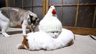 最初から不思議生物オーラの猫、最終形態でニワトリに