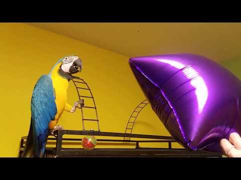 Попугай ара боится шарика)