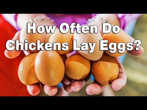 how-often-do-chickens-lay-eggs?