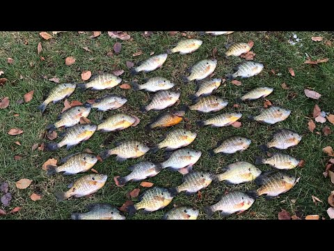 Ice Fishing Bluegills Early Ice(Madison, WI)