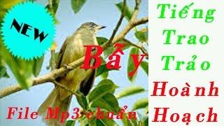 Tiếng chim Trao trảo Hoành hoạch mồi flie MP3 Chuẩn không tạp âm