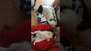 狆 日本犬 みらいちゃんの得意なポーズと寝ているまろ君.