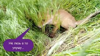 🦊 Встреча с маленьким Лисёнком / Meeting with a fox cub 🦊