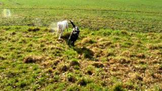Boxer Dog And Labrador Retriever Playing In The Field