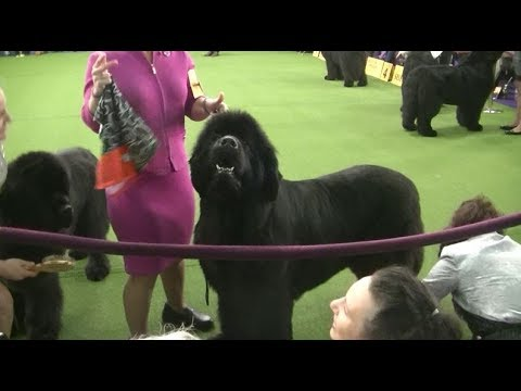 Newfoundland Westminster dog show on 13th February 2018 a