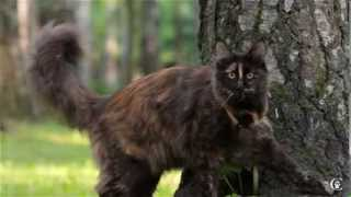 Кошка мейн-кун черепаховая (f) Jingle Bells Grey Claw`s 11 месяцев.