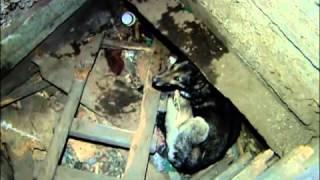 В Абакане в яме умирает собака