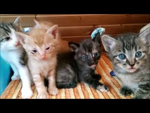 """「生後1か月の子猫 たちが、巣からゾロ ソロ出てきた!」シャクティーパットをするミヨコモバイル版第2弾 「ミケ6回目の出産」第8話 """"六月初旬の野良猫の館"""""""