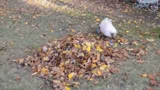 Willow the mini pigs first pile of leaves!