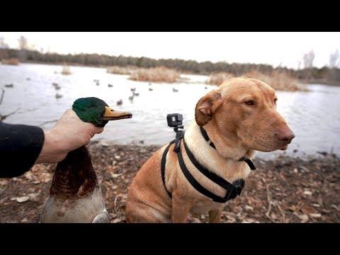 I Put A GoPro On My Dog Duck Hunting Farm Pond Mallards!!