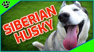 Siberian Husky Dogs 101 - Not For Newbies