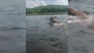 На реке Витим под Бодайбо мужики на лодке пытались утопить оленя.