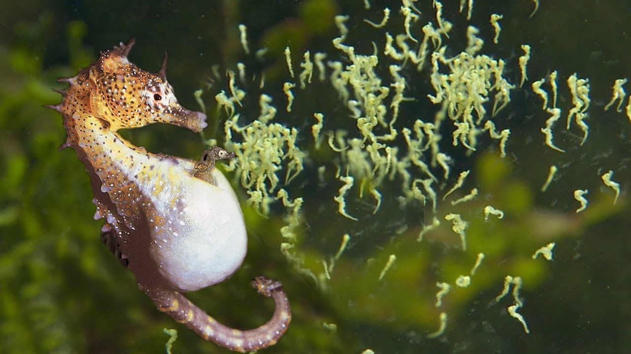 Beautiful Images Of Male Seahorse Giving Birth | Animals Giving Birth