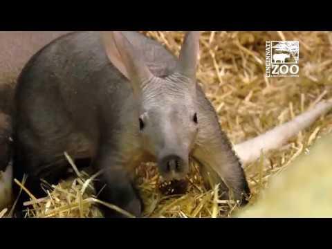 Aadorable Aardvark Baby Winsol Makes Public Debut - Cincinnati Zoo