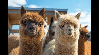 How Llamas Can Help Treat Coronavirus According To Science