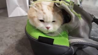 自らキャリーバックに入り無言の帰宅アピールをする猫。スコティッシュフォールド thumbnail