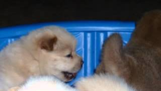 Chow Chow Puppies at 1 month old
