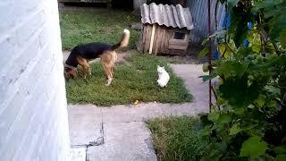 Кот играет хвостом собаки