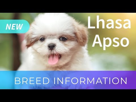 Lhasa Apso | Dog Breed Information