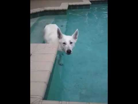 White German Shepherd Swimming