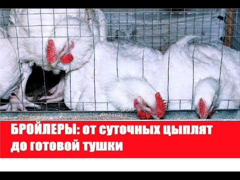 БРОЙЛЕРЫ: от суточных цыплят до готовой тушки