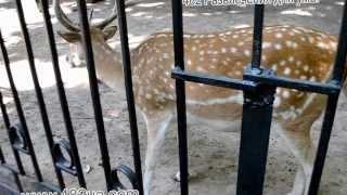 животные, харьковский зоопарк, посетители кормят Лань яблоками