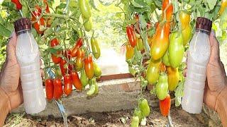 Este Adubo faz Crescer muito Seu Tomate