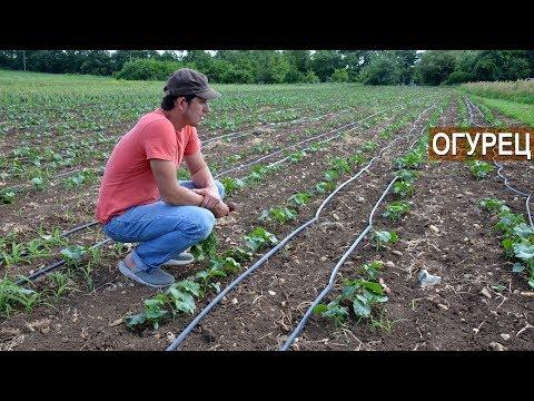 ОГУРЕЦ В ОТКРЫТОМ ГРУНТЕ НА КАПЕЛЬНОМ ПОЛИВЕ. Органическое земледелие Ивана Новичихина. | органические | выращивать | удобрения | подкормка | огурцами | рассада | посадка | огурцов | огурцы | уход